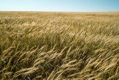 Пшеница 8 Стоковые Изображения