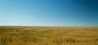 Пшеница 9 Стоковое Изображение RF