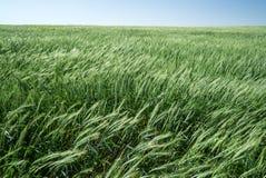 пшеница 10 Стоковое Фото