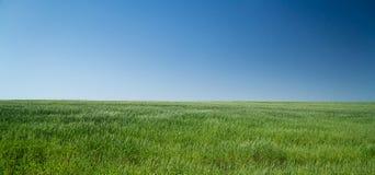 Пшеница 12 Стоковые Фотографии RF