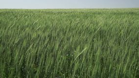 Пшеница сток-видео