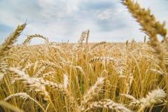 Пшеница Стоковое Изображение RF