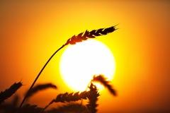 пшеница eer стоковое фото rf