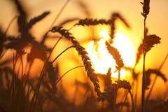 пшеница eers стоковая фотография
