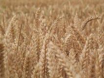 пшеница epi Стоковые Фотографии RF