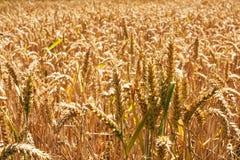 Пшеница field3 Стоковая Фотография