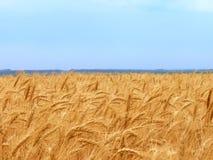 пшеница field1 Стоковые Изображения