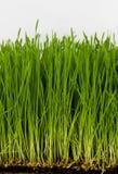 пшеница grss Стоковое фото RF