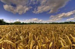 пшеница kent fileds Стоковое фото RF