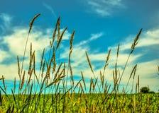 Пшеница Mondovi Стоковая Фотография