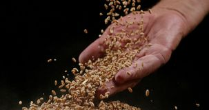 Пшеница, sp triticum, падая против черной предпосылки, акции видеоматериалы