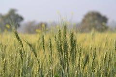 Пшеница (Sp Triticum.) Стоковое Изображение RF