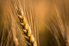 Пшеницы в заходе солнца во время поздним летом Стоковая Фотография RF
