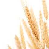 Пшеницы стоковое изображение