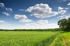 Пшеничное поле весной, красивый ландшафт, зеленая трава и голубое небо с облаками стоковое изображение rf
