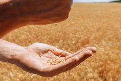 Пшеничное поле, взгляд ландшафта, солнечный день, много гектаров земли с пшеницей Стоковое фото RF