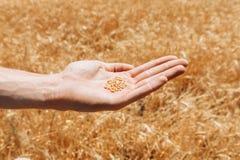 Пшеничное поле, взгляд ландшафта, солнечный день, много гектаров земли с пшеницей Стоковые Фотографии RF