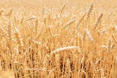 Пшеничное поле, взгляд ландшафта, солнечный день, много гектаров земли с пшеницей Стоковая Фотография
