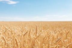 Пшеничное поле, взгляд ландшафта, солнечный день, много гектаров земли с пшеницей Стоковые Изображения