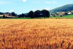 Пшеничное поле в долине стоковое изображение rf