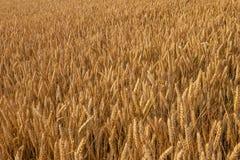 пшеничное поле в солнце вечера Стоковые Изображения RF