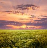 Пшеничное поле жадности и красивое небо захода солнца стоковая фотография rf