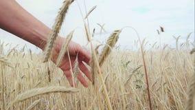 Пшеничное поле женской руки лаская сток-видео