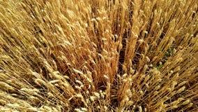 Пшеничное поле Золотые уши пшеницы на поле зрея уши пшеницы луга видеоматериал