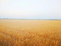 Пшеничное поле Красивое лето стоковые изображения rf