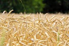 Пшеничное поле на предпосылке леса Стоковое фото RF