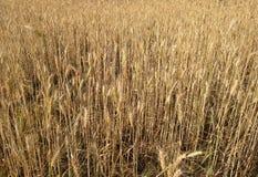 Пшеничное поле около к сбору Стоковые Фотографии RF