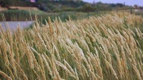 Пшеничное поле против голубого неба движение медленное сток-видео