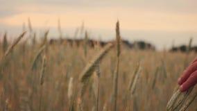 Пшеничное поле руки человека бежать идя Уши мужской руки касающие крупного плана рож хуторянин Принципиальная схема хлебоуборки д акции видеоматериалы