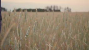 Пшеничное поле руки человека бежать идя Уши мужской руки касающие крупного плана рож хуторянин Принципиальная схема хлебоуборки д сток-видео