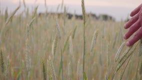 Пшеничное поле руки человека идя Уши мужской руки касающие крупного плана рож хуторянин Принципиальная схема хлебоуборки движение акции видеоматериалы