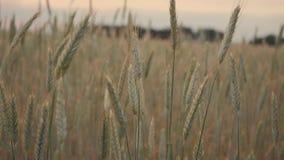 Пшеничное поле руки человека идя Уши мужской руки касающие крупного плана рож хуторянин Принципиальная схема хлебоуборки движение видеоматериал