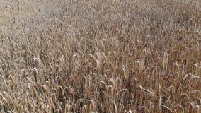 Пшеничное поле сверху акции видеоматериалы