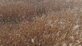 Пшеничное поле сверху видеоматериал