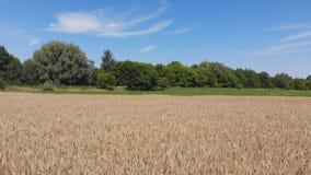 Пшеничное поле сверху сток-видео