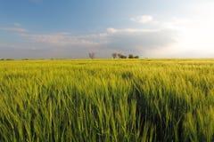 Пшеничное поле весны ячменя зеленое - луг Стоковое Изображение