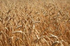 Пшеничное поле в августе, южная Польша Стоковые Фотографии RF