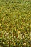 Пшеничное поле в Англии Стоковое фото RF
