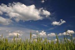 Пшеничное поле в лете Стоковые Изображения