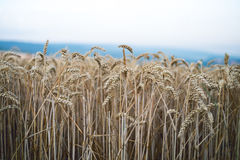 Пшеничное поле в летнем дне Естественная предпосылка солнечная погода Сельская сцена и сияющий солнечный свет аграрным Стоковое Изображение