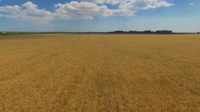 Пшеничное поле в сельской местности голубое небо с белыми облаками выше акции видеоматериалы