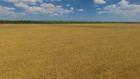 Пшеничное поле в сельской местности голубое небо с белыми облаками выше сток-видео