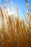 Пшеничное поле в совершенном солнечном утре Стоковая Фотография