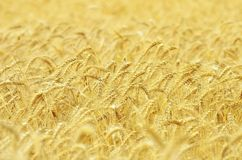 Пшеничное поле готовое для сбора Стоковое Изображение