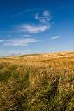Пшеничное поле голубого неба стоковое фото