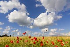 Пшеничное поле 4 границы мака Стоковое Изображение